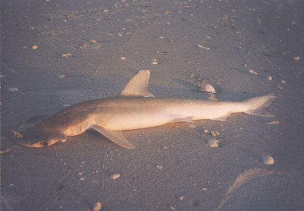 Baby Black Tip Shark